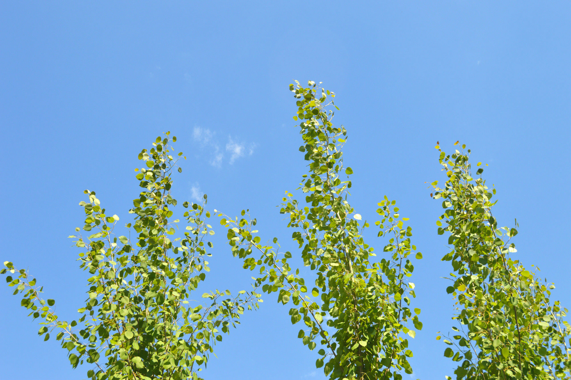 Aspen Trees and Blue Sky